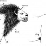 Lions Without Manes?