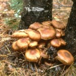 The Largest Organism on Earth Is a Fungus