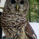 Barred Owl vs Barn Owl