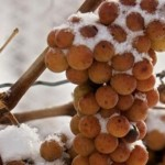 What the heck is ice wine, anyway?