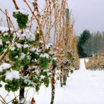 The Legend of Ice Wine
