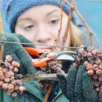 Slovakia finish harvesting frozen grapes to make icewine