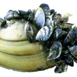The heated battle with zebra mussels and the cayenne pepper myth